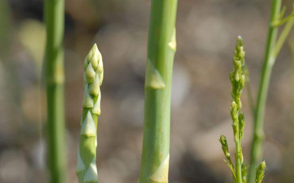 Asparagus officinalis Huchels Schneewittchen - Grün-Spargel