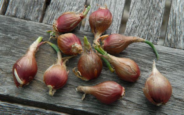 Allium cepa var. viviparum - Etagen-, Luftzwiebel