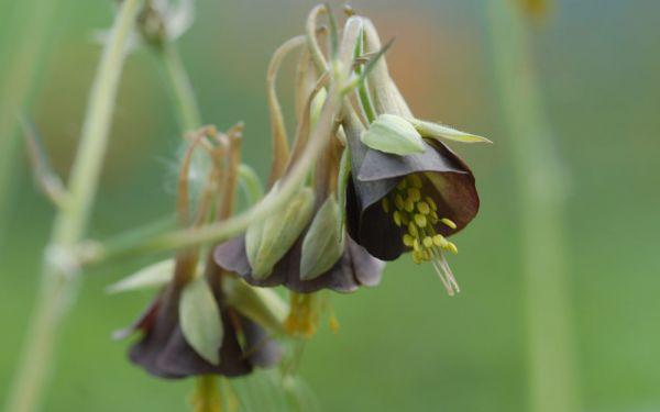 Aquilegia viridiflora - Akelei, Chocolate Soldier