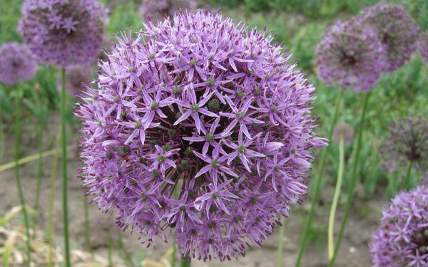 Allium Gladiator - Sternkugel-Lauch
