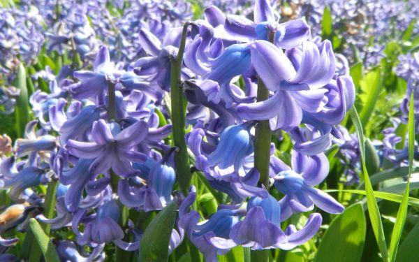 Hyacinthus orientalis Delft Blue - Hyazinthe