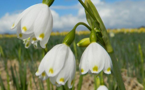 Leucojum aestivum Gravetye Giant - Sommer-Knotenblume