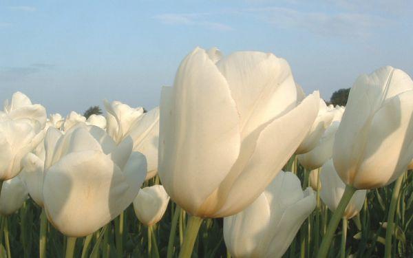 Tulipa Catherina - Einfache späte Tulpe