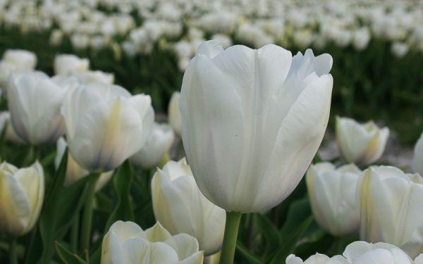 Tulipa Inzell - Triumph-Tulpe