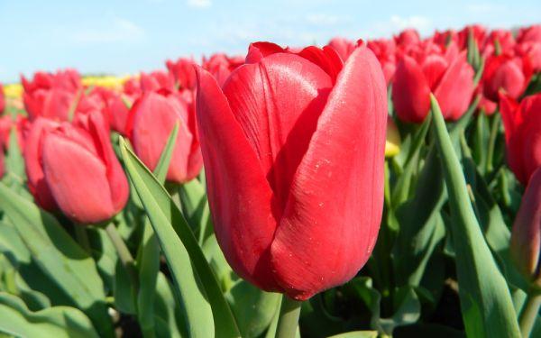 Tulipa Pallada - Triumph-Tulpe