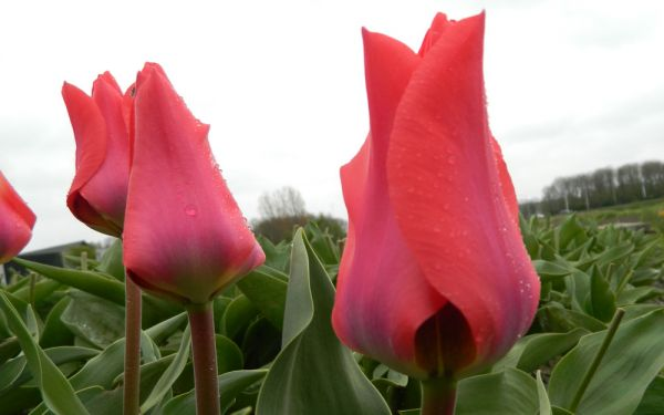 Tulipa fosteriana Portland - Fosteriana-Tulpe