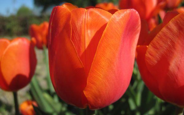 Tulipa Prins Willem Alexander - Triumph-Tulpe