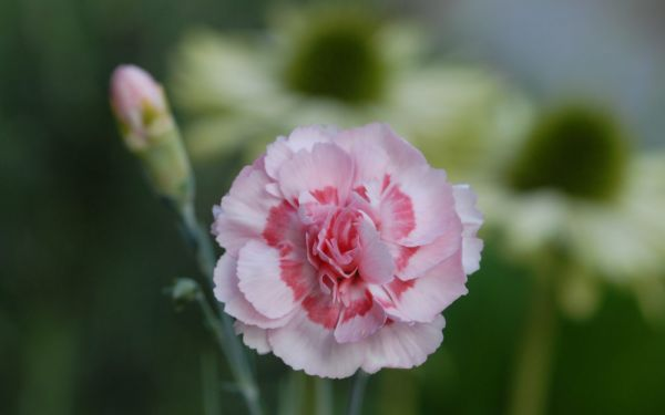 Dianthus Plumarius-Hybride Doris - Feder-Nelke