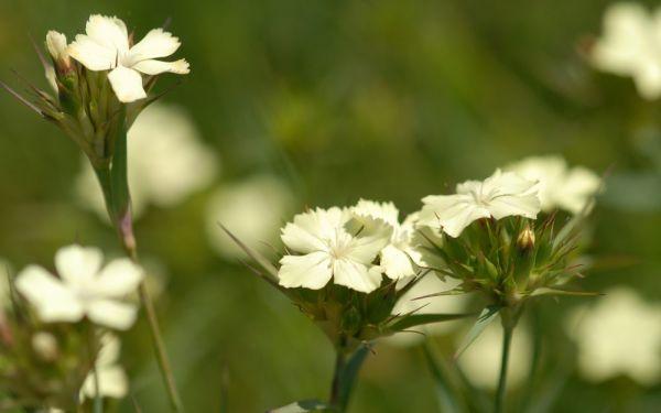 Dianthus knappii - Schwefel-Nelke