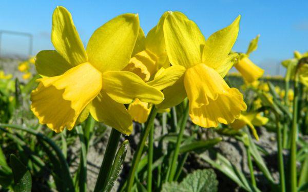 Narcissus Tête á Tête - Cyclamineus-Narzisse