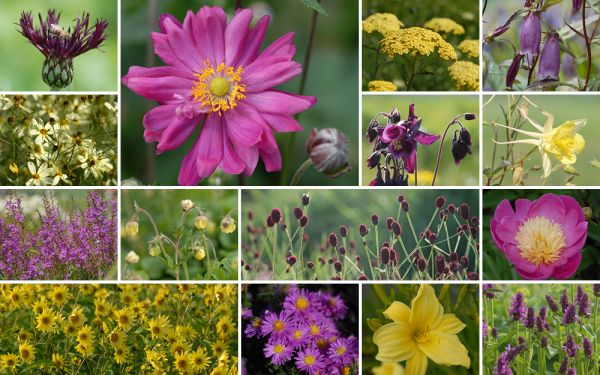 Hellgelb und Purpurviolett [15er, gf] - Gartenflora 20-04