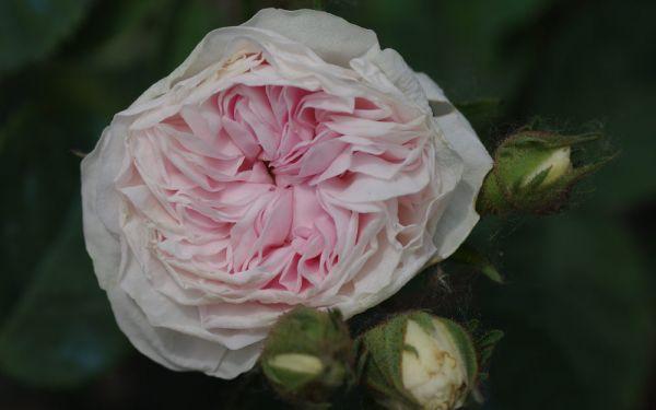 Rosa alba Félicité Parmentier - Historische Strauch-Rose