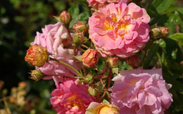 Rosa Multiflora-Hybride Ghislaine Feuerwerk - Kletter-Rose, Rambler