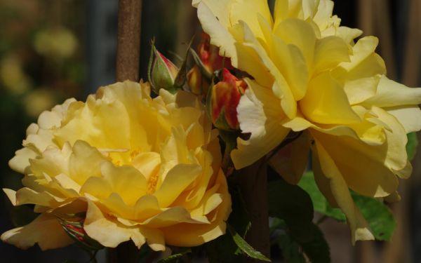 Rosa Autumn Sunset ® - Strauch-Rose