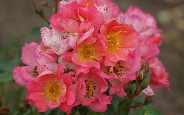 Rosa Coco ® - Bodendecker-, Zwerg-Rose