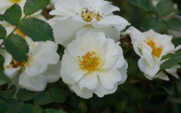 Rosa Diamant ® - Beet-, Kleinstrauch-, Bodendecker-Rose