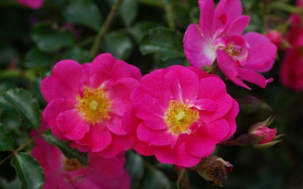 Rosa Neon ® - Beet-Rose