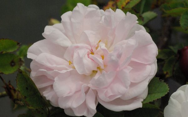 Rosa Pimpinellifolia-Hybride Stanwell Perpetual - Historische Strauch-Rose, Bibernell-Rose