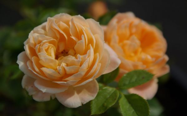 Rosa Sweet Dream ® - Bodendecker-, Zwerg-Rose