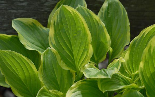 Hosta Plantaginea-Hybride So Sweet - Gelbrand-Funkie