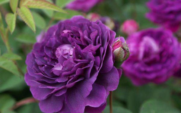 Rosa Reine des Violettes - Historische Strauch-Rose