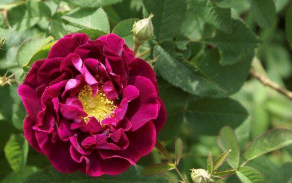 Rosa gallica Tuscany Superb - Historische Strauch-, Gallica-Rose