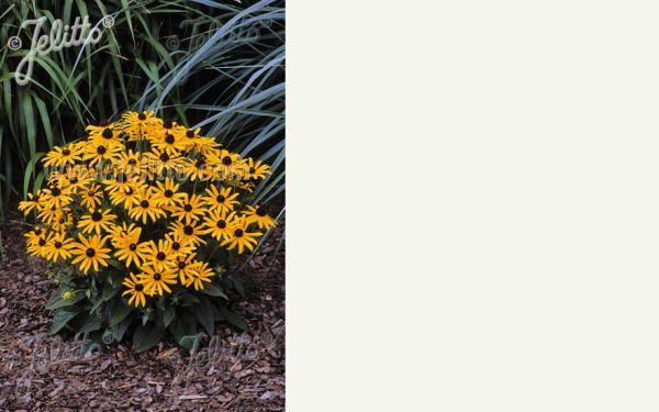 Rudbeckia fulgida Little Goldstar ® - Sonnenhut