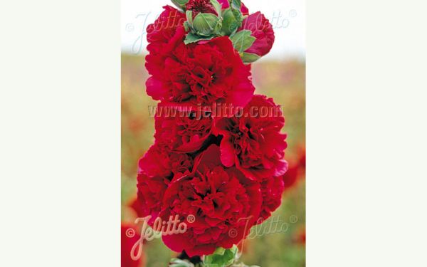 Alcea rosea plena Chaters Rot - Stockrose