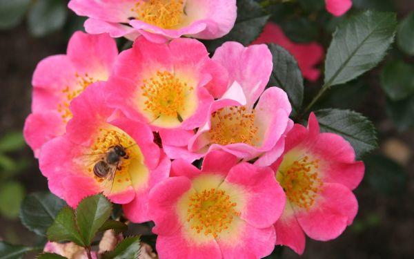 Rosa Topolina ® - Bodendecker-Rose, Kleinstrauch-Rose
