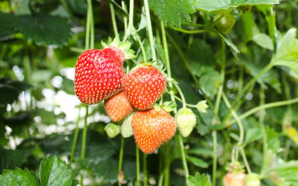 Fragaria x vescana Parfum® Freeclimber® - Dauertragende Spalier-Erdbeere