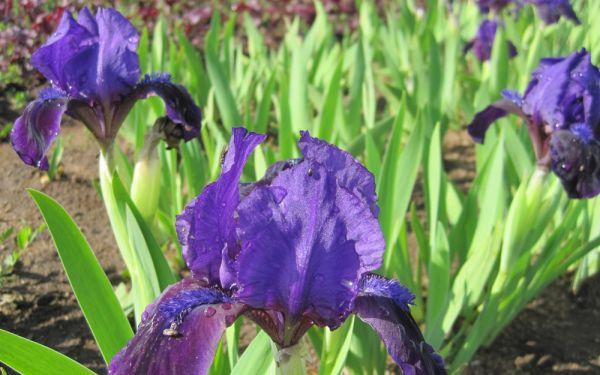 Iris barbata-nana Little Shadow - Zwerg-Bart-Iris