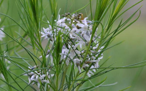 Amsonia hubrichtii - Blaustern-Busch