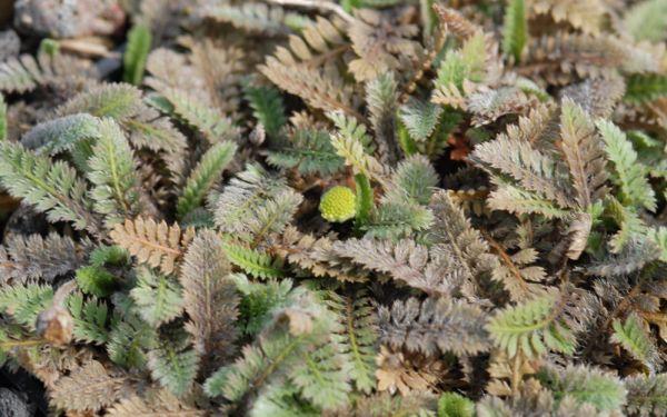 Cotula potentillina - Fiederpolster