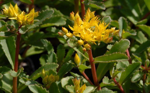 Sedum aizoon Euphorbioides - Gold-Fetthenne
