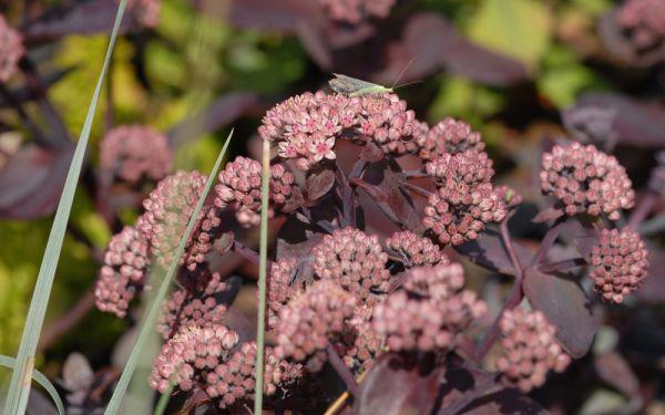 Sedum Hybride Karfunkelstein - Dunkellaubige Fetthenne