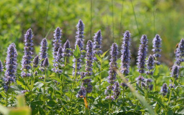 Agastache Rugosa-Hybride Blue Fortune - Blaunessel
