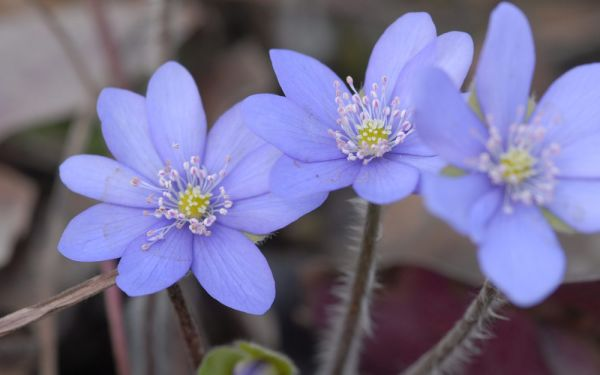 Hepatica nobilis - Leberblümchen