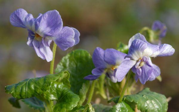 Viola alba spp. dehndardtii Parme de Toulouse - Parma-Veilchen