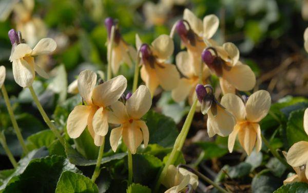 Viola odorata Sulfurea - Veilchen