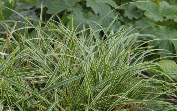 Carex morrowii ssp. foliosissima Icedance - Bodendecker-Japan-Segge