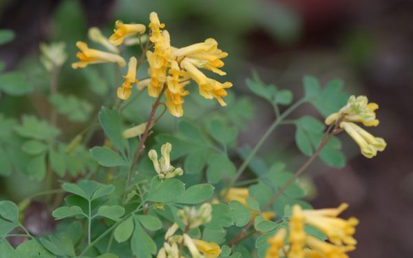 Corydalis lutea  - Lerchensporn