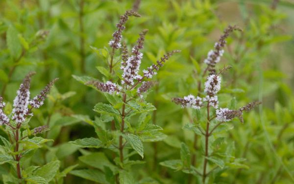 Mentha species Nemorosa - Hugo-Minze, Mojito-Minze