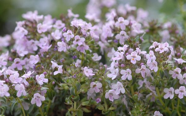 Thymus herba-barona - Kümmel-Thymian