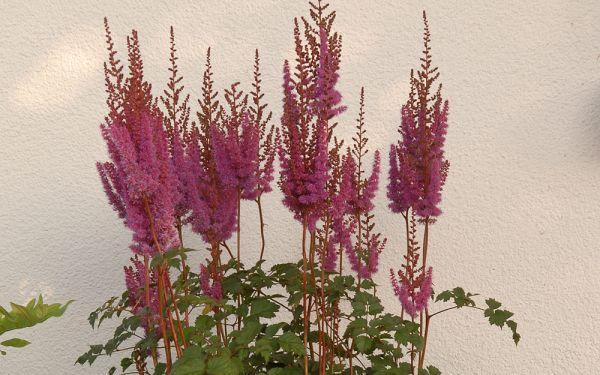 Astilbe chinensis var. taquetii Purpurlanze - Hohe Kerzen-Spiere