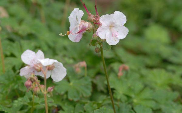 Geranium x cantabrigiense Saint Ola - Storchschnabel