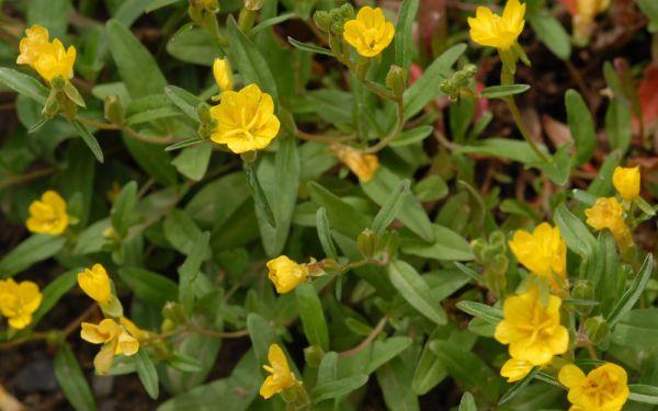 Oenothera perennis  - Zwerg-Nachtkerze
