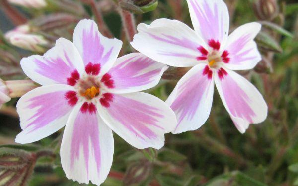 Phlox subulata Candy Stripes - Polster-Phlox, Teppich-Phlox