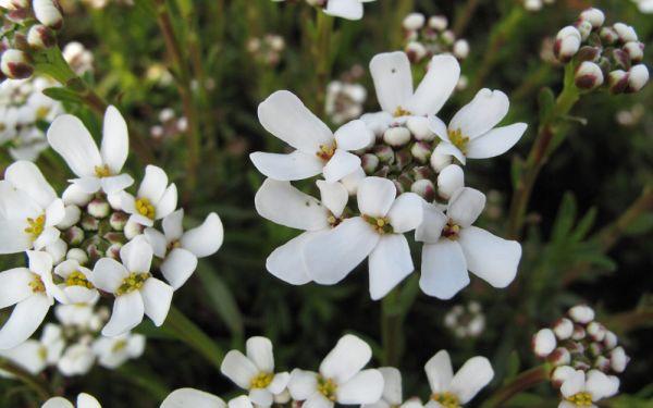 Iberis sempervirens Zwergschneeflocke - Kleine Schleifenblume