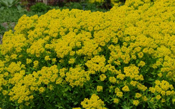 Euphorbia fragifera - Hohe Wolfsmilch