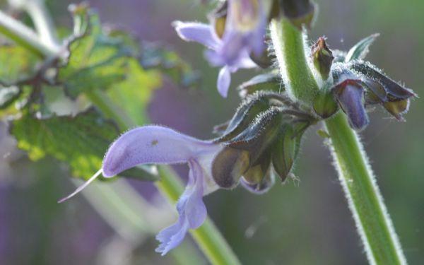 Salvia miltiorrhiza - Chinesischer Salbei, Rotwurzel-Salbei